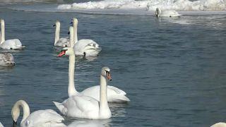 Лебеди-шипуны на реке Прут Черновицкой области Украины, февраль 2021 г.