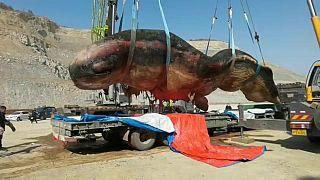 نقل جثة حوت عنبر نافق بطول 18 مترا على شواطئ الصين