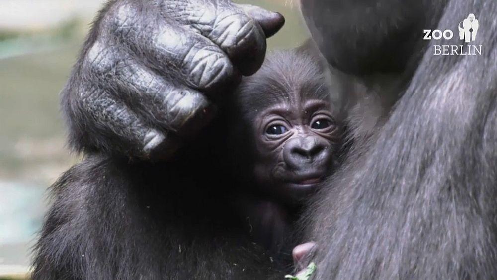 Gorilla-Nachwuchs im Zoo Berlin: Es ist ein Mädchen, Name gesucht