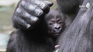 Gorillamama Bibi und ihre noch namenlose Tochter