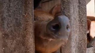 Mangalica kíváncsiskodik a kerítésen keresztül