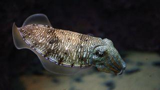 حبار يسبح في حوض أسماك في المركز العلمي بالكويت