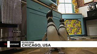 Gelangweilte Pinguine dürfen TV-Set besuchen