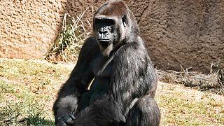 San Diego Hayvanat Bahçesi'nde yaşayan bir goril.