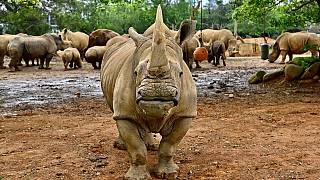 Endangered Southern White Rhino to fly to Japan to breed