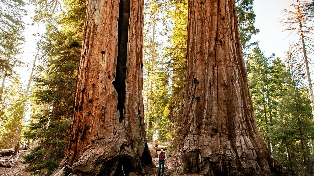 Where are the world's tallest trees and why are they so important?