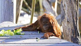 A Sumattran orangutan climbs onto a landing to get some food at the Denver Zoo on Nov. 5, 2020.