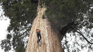 شجرة سيكويا عملاقة في كاليفورنيا الأمريكية