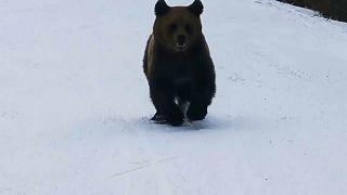 Der Bär versuchte mit aller Kraft, Tuchfühlung zu dem filmenden Skifahrer aufzunehmen