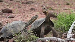 سلاحف مهددة بالانقراض في الإكوادور
