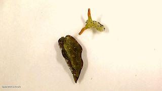 حلزون دریایی که سرش را از بدن خود جدا کرده است
