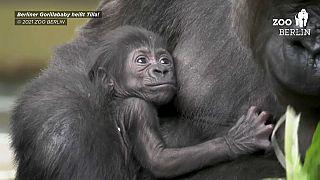 Gorilla-Baby Tilla in den Armen seiner Mutter im Zoo Berlin