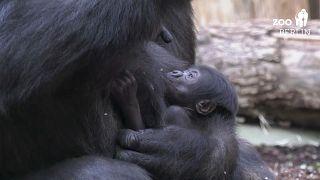 """""""Tilla"""" o novo gorila bebé do Jardim Zoológico de Berlim"""
