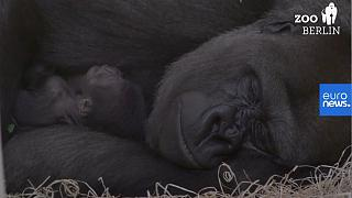 Una imagen del gorilla Tilla y su madre en el zoo de Berlín.