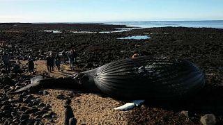 Le cadavre d'une baleine échouée en Islande attise la curiosité
