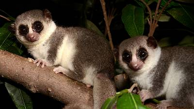 The small primate is the only tropical mammal known to hibernate.