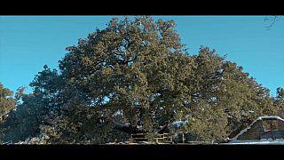 Le chêne vert millénaire de Lecina