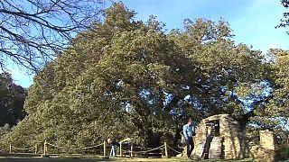 Europäischer Baum des Jahres in Lecina