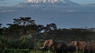 Aguacates como amenaza para los elefantes
