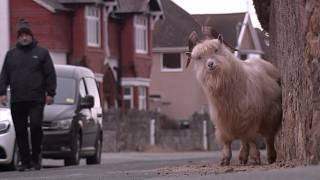 قطعان الماعز تنتهز فرصة الإغلاق بسبب الجائحة لتغزوا شوارع ويلز