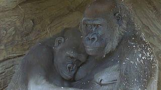 Gorilas en el Zoológico de San Diego (EE.UU.)