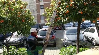 Σεβίλλη: «Πράσινη» ενέργεια από τα πορτοκάλια