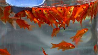 فروش ماهی سفره هفتسین در تهران