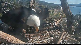 Weißkopfseeadler Jackie und Shadow bereiten sich auf das Schlüpfen ihres Nachwuchses vor