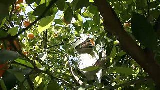 Un operario recoge naranjas en Sevilla.