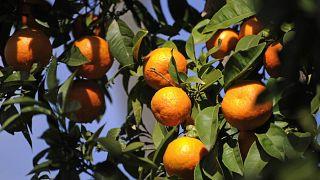 البرتقال الناضج في الأشجار في مدينة إشبيلية الإسبانية.