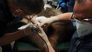 تلقيح أثنى حيوان باندا صناعيا في حديقة حيوان بوفال في فرنسا