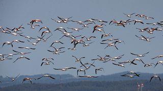 صورة لطيور النحام الوردي
