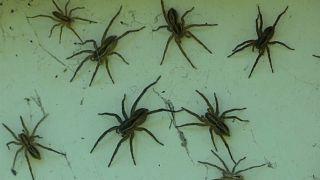 Nach dem Hochwasser kommt die Spinnenplage