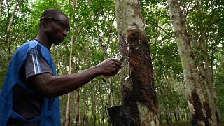 Ivory Coast ranks fourth globally in rubber production