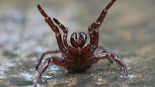 In Australien droht nach heftigem Regen eine Plage der Sydney-Trichternetzspinnen (Atrax robustus)