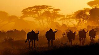 Gnú- és zebracsorda egy kenyai nemzeti parkban – az erősek védik a gyengéket