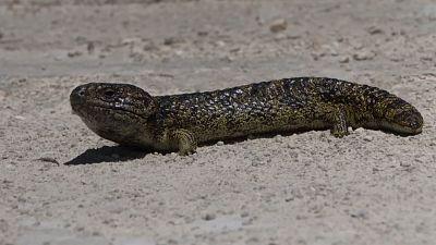 The shingleback lizard is one of Australia's most trafficked animals.