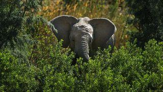 Слон в Национальном парке Крюгера, ЮАР