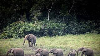 Africa Forest elephants face growing risk of extinction
