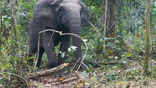 """فيلة غابات أفريقيا أصبحت مهددة بـ """"خطر الانقراض الأقصى"""""""