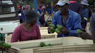 'Green gold': Avocado craze drives crop theft in S.Africa