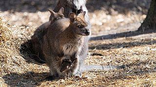 A kiskenguru már kezdi felfedezni a világot
