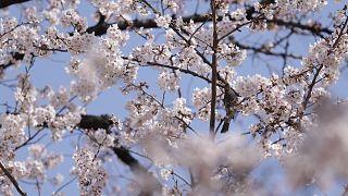 شکوفههای گیلاس در شهر توکیو