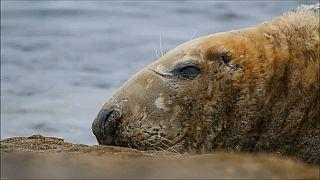 Regno Unito: una app per monitorare le foche grigie