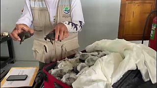 Γκαλάπαγκος: Χελωνάκια σώθηκαν από τα νύχια λαθρεμπόρων