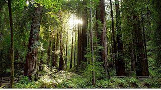 جنگل سانفراسیسکو