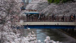شاهد: سكان طوكيو يحتفلون بموسم تفتح أزهار الكرز بعد رفع حالة الطوارئ