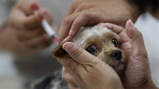 Un perro es vacunado en Taiwán