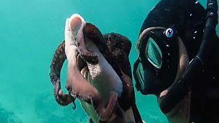 ''My Octopus teacher'' sélectionné pour les Oscars