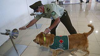 Havaalanında Covid-19 virüsü tespit etmeye çalışan eğitimli bir köpek.